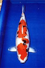全日本総合錦鯉品評会 第21回 15部・国魚賞 大正三色(83cm)