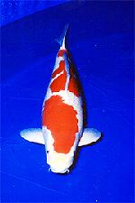 全日本総合錦鯉品評会 第24回 成魚オス部総合優勝 70部・紅白