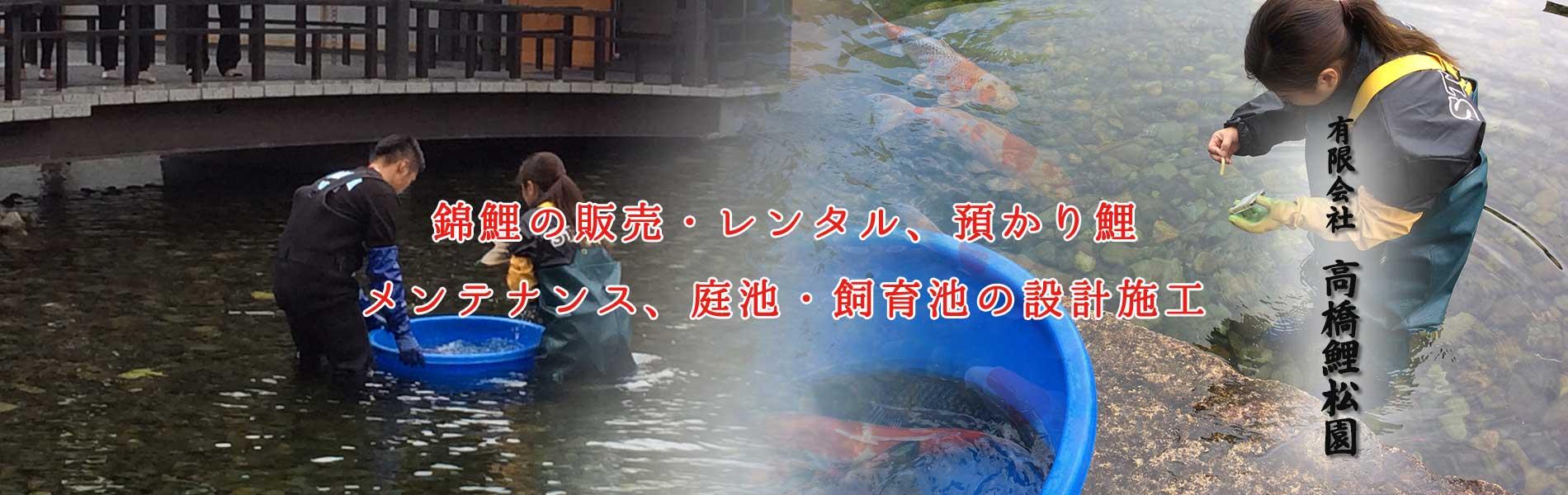 錦鯉の販売・レンタル、預かり鯉、メンテナンス